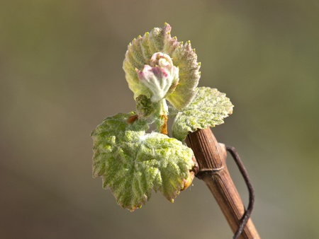 grape bud in vineyard in early spring