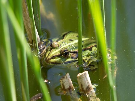 double reed: green frog in the lake with reed plants Stock Photo