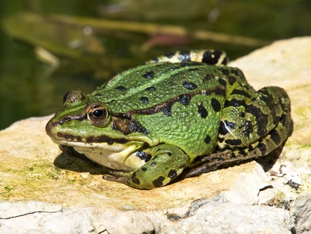 double reed: big fat green frog on the stone lake wall