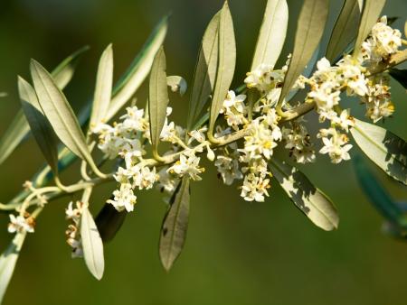 olijfboom bloemen in de lente
