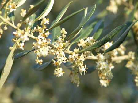 olive tree flowers in the spring