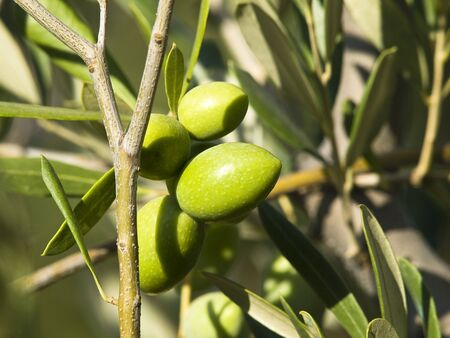 green olive on a branch Stock Photo