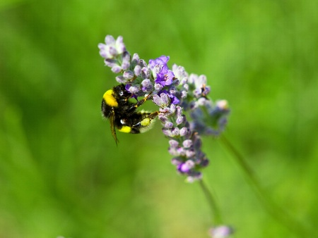bumble bee on the lavander flower photo