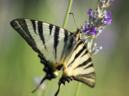 butterfly dovetail collecting pollen from lavender flower photo