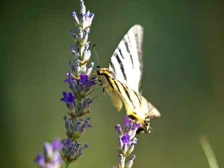 dovetail: butterfly dovetail collecting pollen from lavender flower