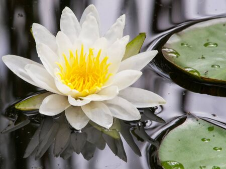 white water lily in the lake photo