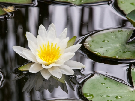 white water lily in the lake
