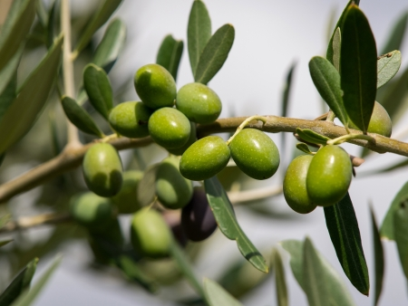 branch of green organic olives Stock Photo