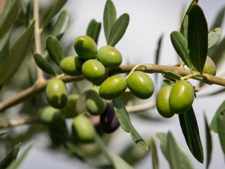 tak van groene biologische olijven Stockfoto