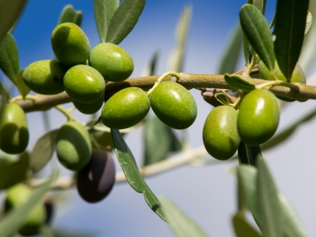 branch of green olives on the tree Stock Photo