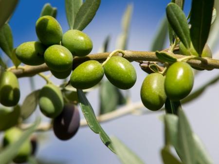tak van groene olijven op de boom