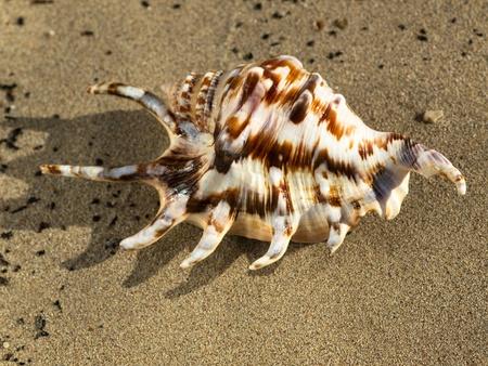 ostracean: shell on the sand beach near the sea