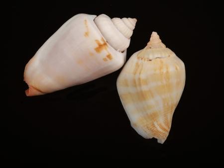 seashell isolated on black background       photo