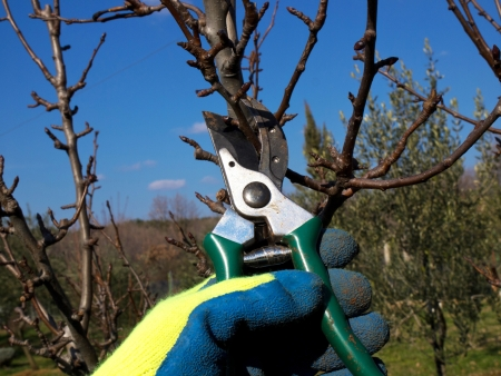 hand with a glove pruning with  scissors photo