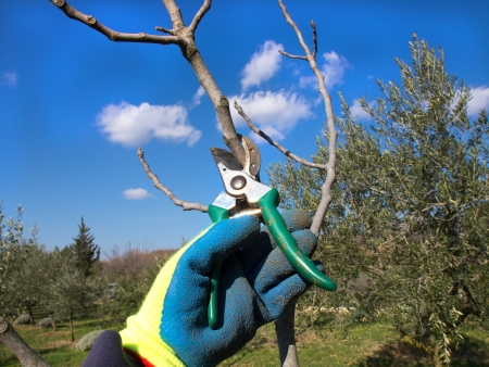pruning scissors: hand in the glove pruning with a scissors