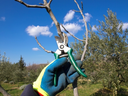 pruning scissors: hand in the blue glove pruning with scissors