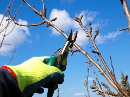 hand with a glowe pruning with a scissors Standard-Bild
