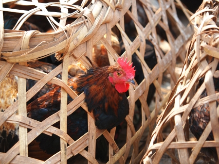 penned: Caged Proud Rooster With Black and red Feathers For Sale at the Bird Market in kathmandu,Nepal      Stock Photo