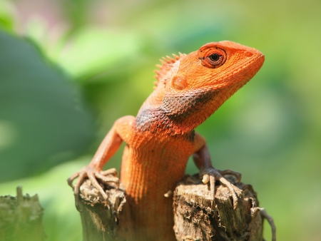 orange lizard sitting on tree in the natural habitat  close-up photos