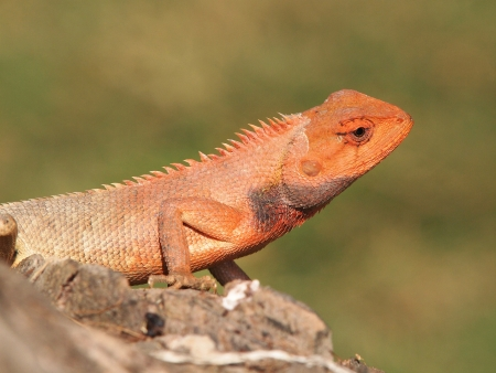 arboreal: orange lizard sitting on stone in the natural habitat  close-up photos