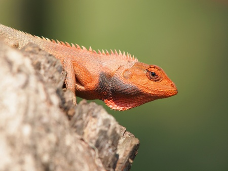 arboreal: orange lizard sitting on the log in the natural habitat  close-up photos