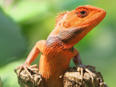 orange lizard sitting on tree in the natural habitat  close-up photos