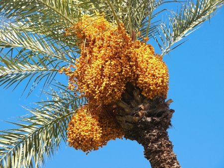 Bunch of colourful dates on the palm tree photo