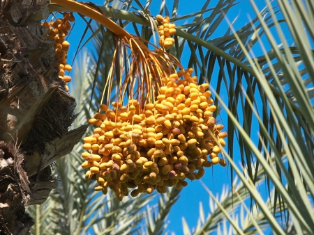 kimri: Bunch of colourful dates on the palm tree