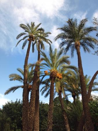 hot date: date fruit on palm tree on a blue sky