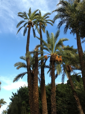 kimri: date fruit on palm tree on a blue sky
