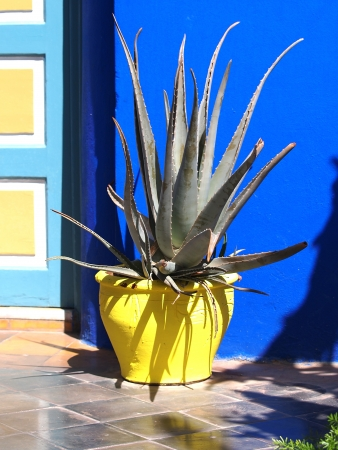 agave cactus in a yellow clay pot            Standard-Bild