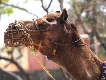 camel face profile with decorative bridle in Agra, India        photo