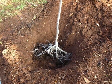 穴のフルーツの木を植えること 写真素材
