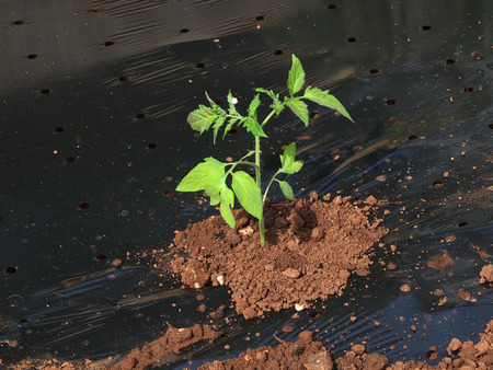 planting a tomatoes seedling          photo