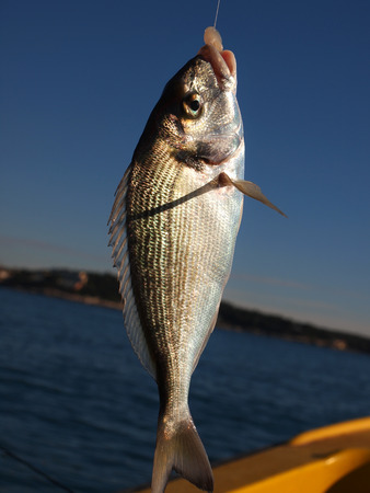 fresh catch gilthead on the hook photo
