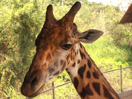 Giraffe with very long neck, coat pattered with brown patches separated by lighter lines. Tallest living animal which is a mammal. Stock Photo