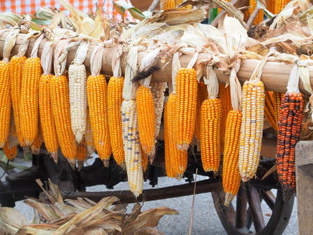carreta madera: Madura seca colgando las mazorcas de maíz en el carro de madera viejo