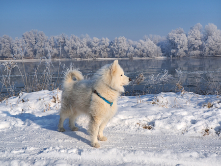 White Husky and Winter landscape, river under the ice and tree branches covered with white frost Stock Photo