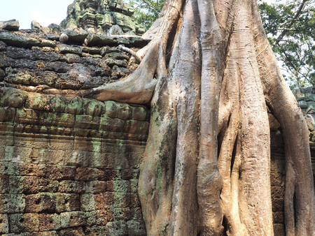Tree has completely consumed the ancient temple of Ta Prohm in the ancient town of Angkor Cambodia. Stock Photo