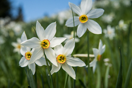 Beautiful white narcissus flowers in nature