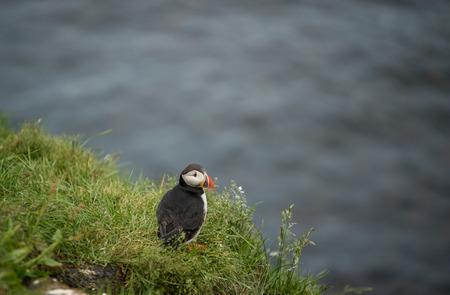 Cute and beautiful common puffin bird in nature environment
