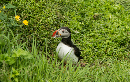 fratercula: Cute and beautiful common puffin bird in nature environment