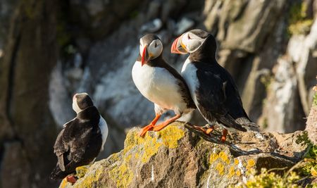 Cute common puffin bird in Iceland