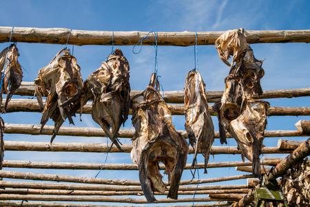 stockfish: Traditional outdoor drying of codfish in Iceland