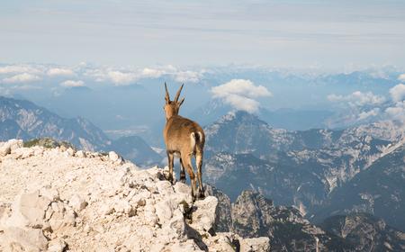 Bergziege, Steinbock, stehend auf einer Bergspitze Standard-Bild - 75540989