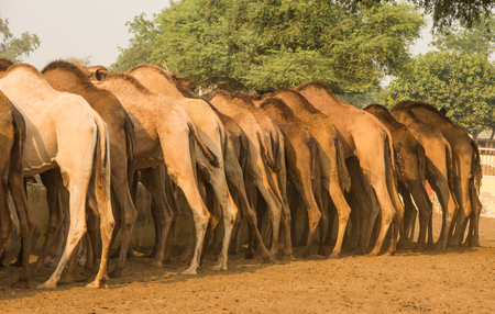 Closeup of camel in camel research institute in Bikaner, Rajasthan India