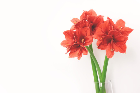 Three amaryllis coral color in glass vase on white background. Color trend of the year. Place for text.