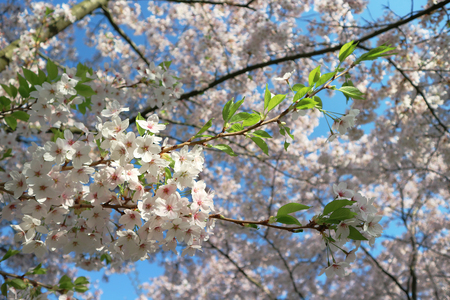 Beautiful cherry blossom in the spring on sky blue background. White sakura flower. Selective focus.