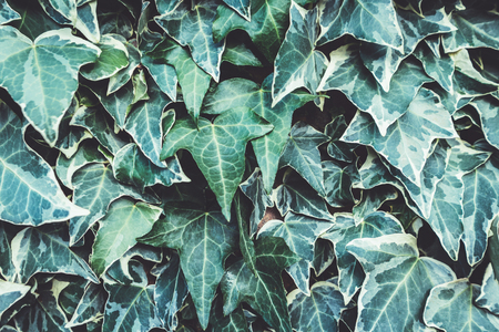 Green ivy on a wall background. Natural texture.
