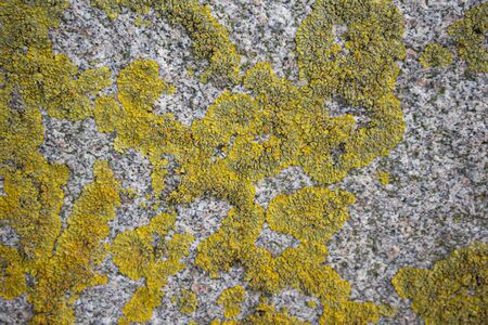 Yellow-green moss on the stone wall. Textured background. Stock Photo